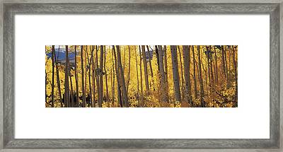 Aspen Trees In Autumn, Colorado, Usa Framed Print