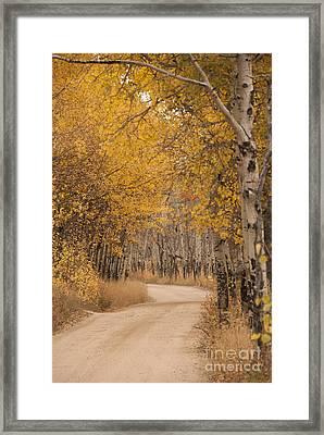 Aspen Trees In Autumn Framed Print by Juli Scalzi