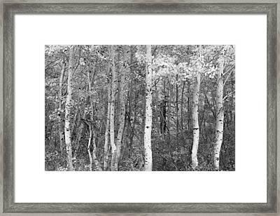 Aspen Trees In Black And White Framed Print