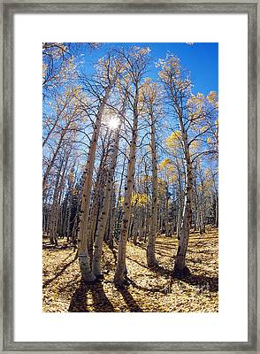 Aspen Trees In The Sun Framed Print by George D. Lepp