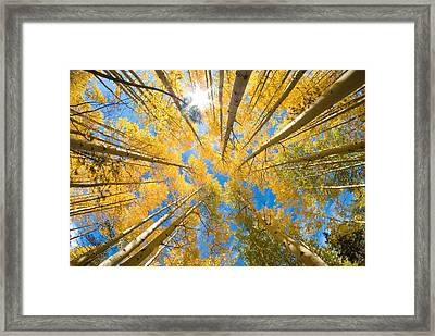 Aspen Trees Looking Up Framed Print