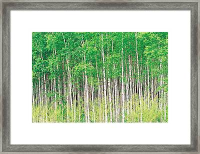 Aspen Trees, View From Below Framed Print by Panoramic Images
