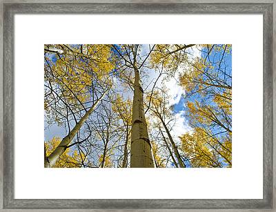 Aspen Tress To The Sky Framed Print