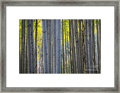 Aspen Trunks Framed Print by Inge Johnsson