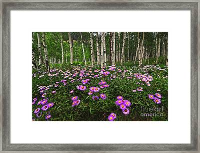Aspens And Asters Framed Print