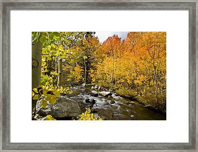 Aspens At Bishop Creek Framed Print
