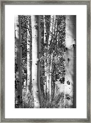 Aspens In B And W Framed Print