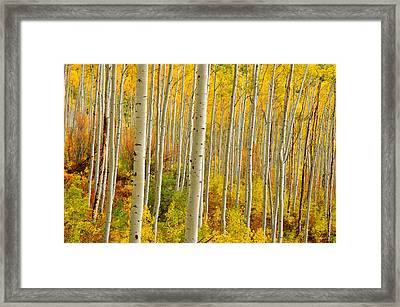 Aspens In The Colorado Rockies Framed Print