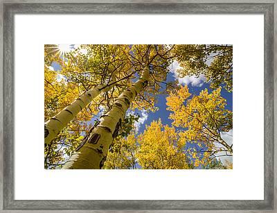 Aspens In The Fall Framed Print