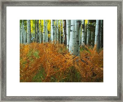 Aspens In The Ferns Framed Print by Peter Coskun