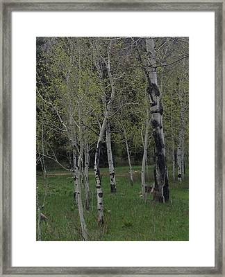 Aspens In The Spring Framed Print by Shawn Hughes