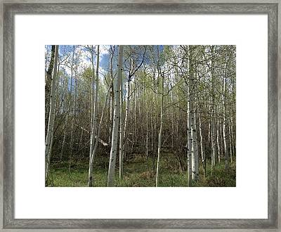 Aspens In The Springtime Framed Print by Shawn Hughes