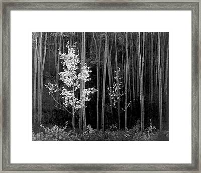 Aspens Northern New Mexico Framed Print by Ansel Adams