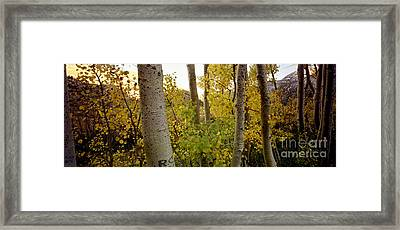 Aspens Framed Print by Ron Smith