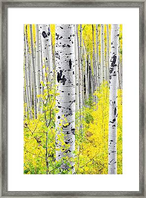 Aspens   Framed Print by The Forests Edge Photography - Diane Sandoval