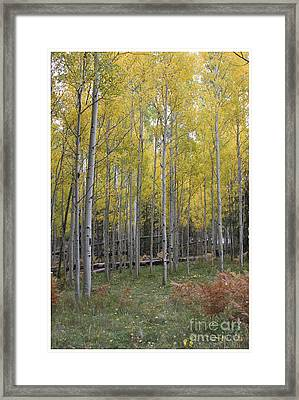 Framed Print featuring the photograph Aspen's Yellow Glow by Ruth Jolly