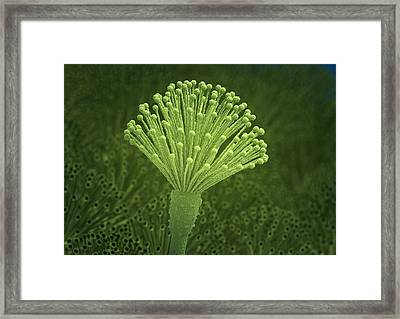 Aspergillus Fungus, Artwork Framed Print