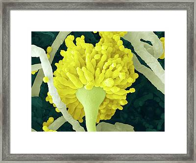 Aspergillus Fungus Conidiophore Framed Print by Thierry Berrod, Mona Lisa Production