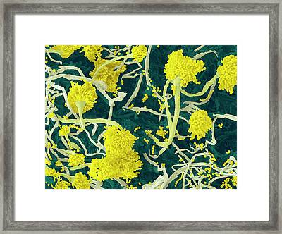 Aspergillus Fungus Conidiophores Framed Print by Thierry Berrod, Mona Lisa Production
