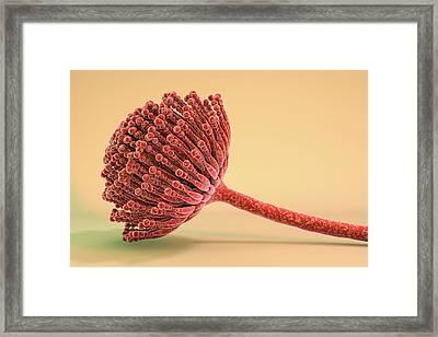 Aspergillus Fungus Framed Print