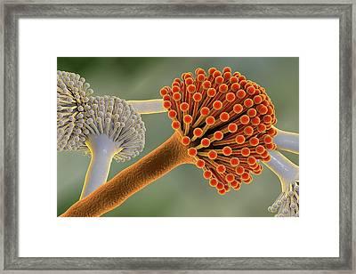 Aspergillus Framed Print by Kateryna Kon