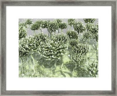Aspergillus Mold Framed Print by Juan Gaertner
