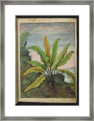 Asplenium Scolopendrium Framed Print by British Library