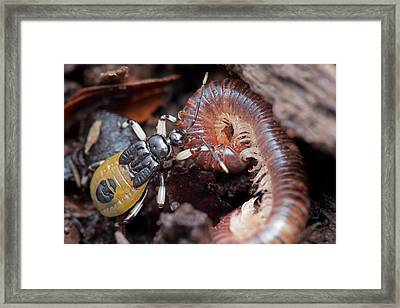 Assassin Bug Eating Millipede Framed Print by Melvyn Yeo