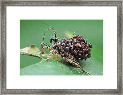 Assassin Bug Nymph With Ants Framed Print by Melvyn Yeo