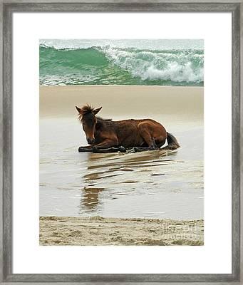 Assateague Foal Framed Print by Olivia Hardwicke