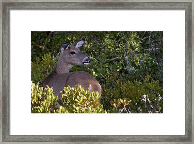 Asseteague Island Doe1  Framed Print