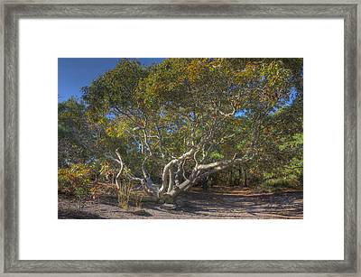 Asseteague Island Oak Framed Print