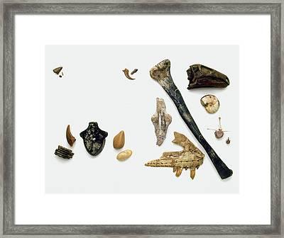 Assorted Fossilised Bones And Shells Framed Print by Dorling Kindersley/uig