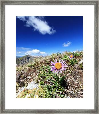 Aster Alpinus Framed Print by Antonio Scarpi
