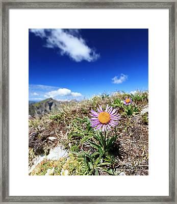 Aster Alpinus Framed Print
