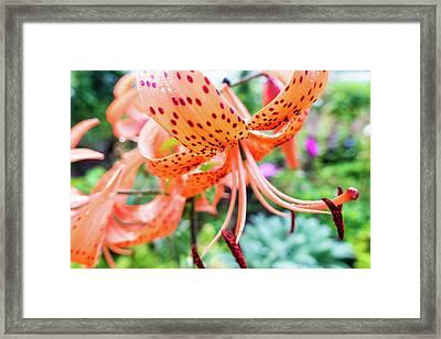 Aster Flower Framed Print