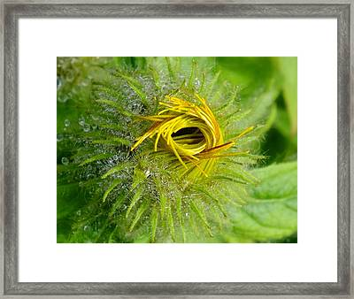 Asteraceas Unfolding Framed Print