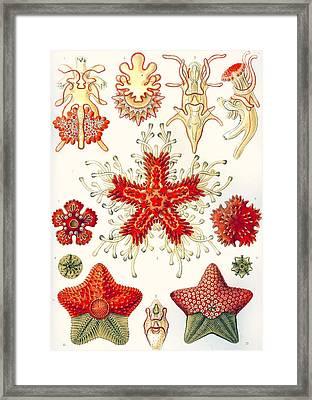 Asteridea Framed Print by Ernst Haeckel