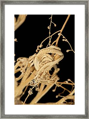 Asteroschema On Riisea Paniculata Framed Print by Natural History Museum, London