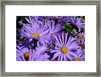 Framed Print featuring the photograph Asters After The Rain by Scott Lyons