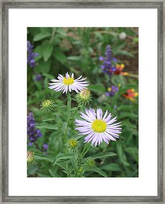 Asters In Close-up Framed Print