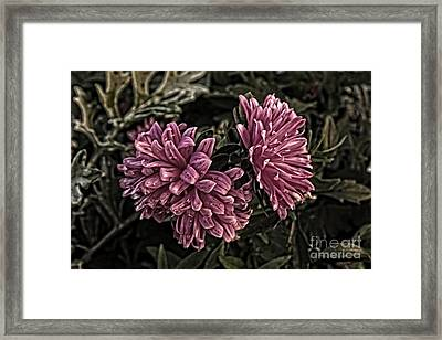 Asters In The Garden Framed Print by Marjorie Imbeau