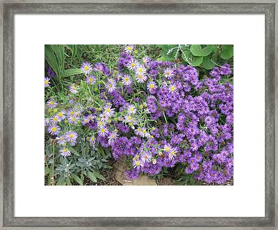 Asters Light And Dark Framed Print