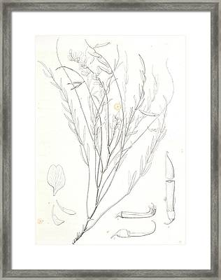 Astragalus Homalobus Serotinus, 1. Vexillum , Wing Framed Print