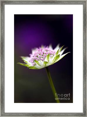 Astrantia Buckland Flower Framed Print by Tim Gainey