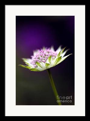 Pin Cushion Flower Framed Prints