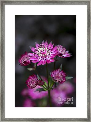 Astrantia Hadspen Blood Flower Framed Print by Tim Gainey