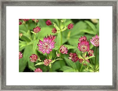 Astrantia Major 'rosea' Flowers Framed Print