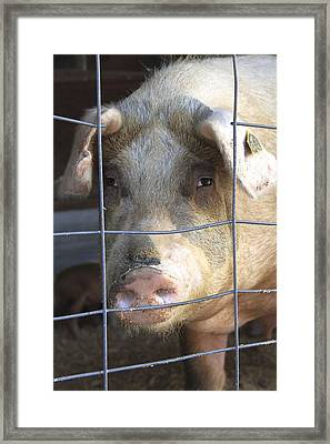 Framed Print featuring the photograph At The County Fair by Colleen Williams