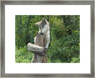 At Wolf Hollow Framed Print